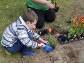 Boy plants tulips.