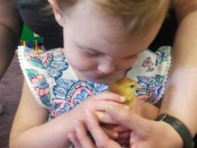 Toddler cradles newly-hatched chicken.